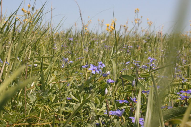 Blue-eyed Grass (Sisyrinchium sp.) among native grasses and other plants; Photo © 2007 Jason Spangler