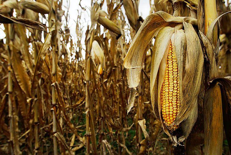 Dry Corn